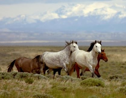 Great Divide Basin wild horses