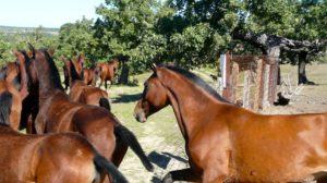 Two-dozen Retuerta horses, the second of two batches, are released into the Campanarios de Azaba Biological Reserve in western Spain.