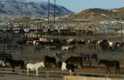 A shelterless BLM wild horse holding facility