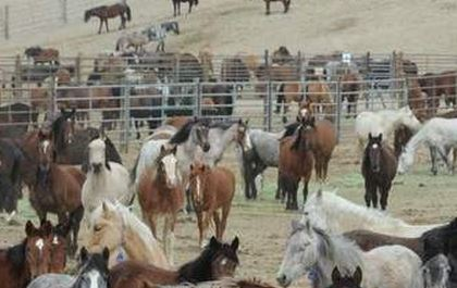 A Bureau of Land Management Holding Facility...too many horses so lets sterilize and euthanize the one's out free? Outrageous.