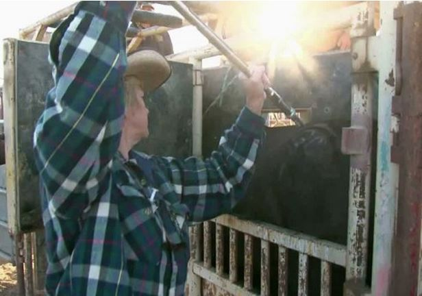 wild horses receive birth control