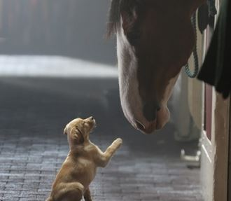 Budweiser Clydesdale ad