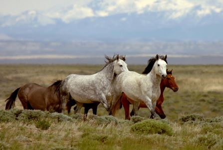 Current Myths About The Wild Horses Of The American West