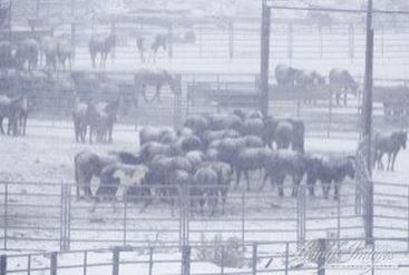 BLM captives without shelter ~ photo by Carol Walker of Wild Horse Freedom Federation
