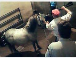 Canadian horse slaughter