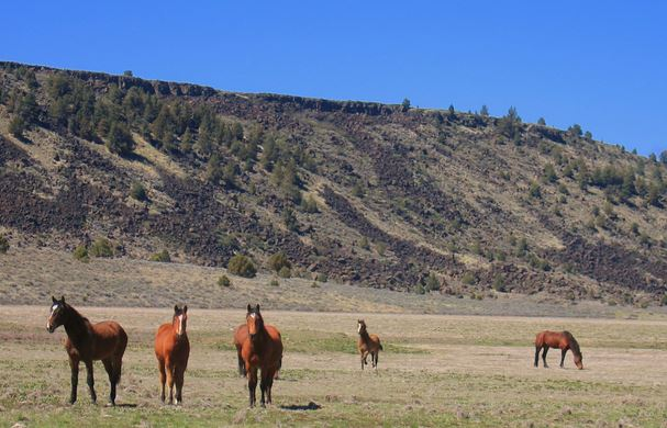 Wild horses in Modoc National Forest