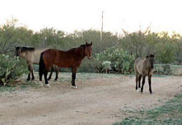 Sahuarita's wild horses