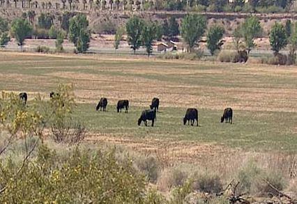 Bundy's cattle has been illegally grazing on Federally managed lands for 20 years.