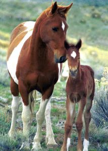 Mare and foal mustangs
