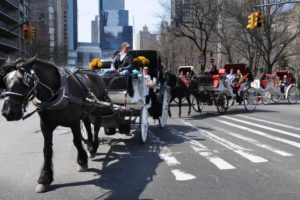 Horse Drawn Carriages: New York -  Horse drawn carriages leave park at Central Park South.    Photo by Helayne Seidman