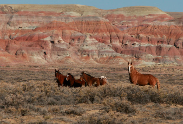 Wild horses roam the Jack Morrow Hills area of the Red Desert in Sweetwater County. The Bureau of Land Management has been criticized for selling a herd of Wyoming horses to a Canadian slaughterhouse. The BLM said the horses were legally considered stray, not wild, and therefore not subject to federal wild horse protections.