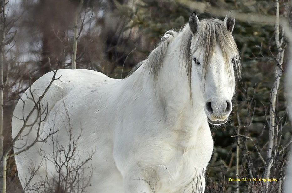 White Spirit Band Stallion. Photo by Duane Starr Photography