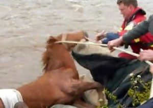 wild horse in British Columbia rescued