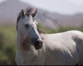 Champ wild stallion