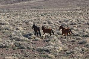 Horse advocates want wild horses designated as endangered on grounds that the Wild Free-Roaming Horse and Burro Act of 1971 has failed to protect the animals.  Photo: Thinkstock