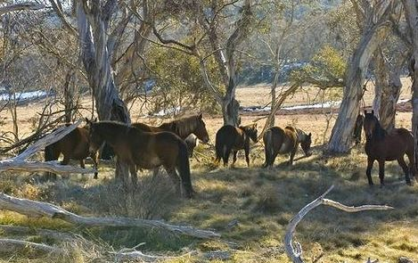 Pests: Wild horses in Kosciuszko National Park. Photo: Stuart Cohen