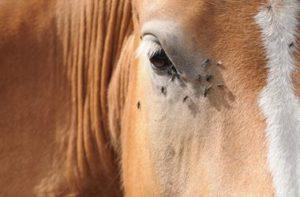 Horse flies