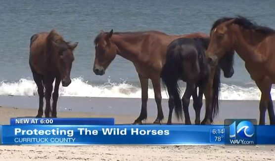 wild horses on the outer banks
