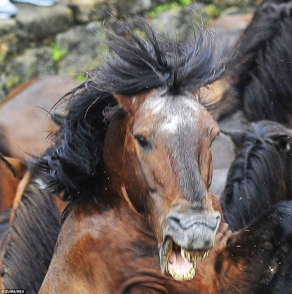spanish wild horse