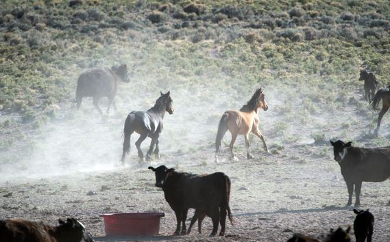 Utah wild horses and cattle