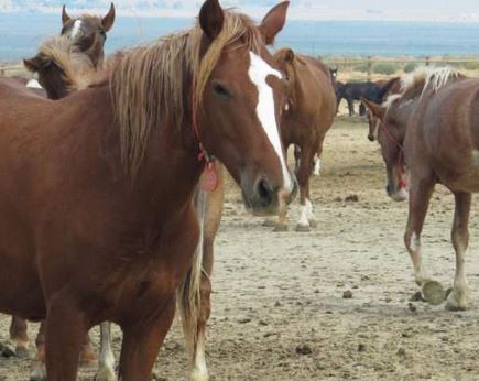 BLM mismanagement of horse herds in holding pens kills 57 of them