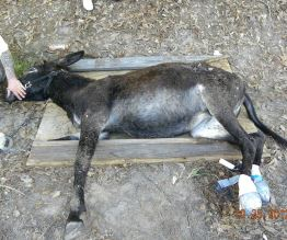 injured donkey