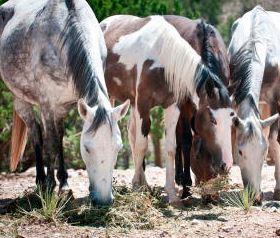 Wild horses in Placitas, NM