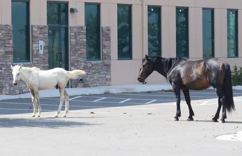 wild horses in town