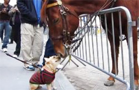French bull dog and NYC Police Horse greet each other