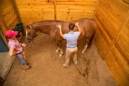 chiropractic care of an injured horse rehabilitation
