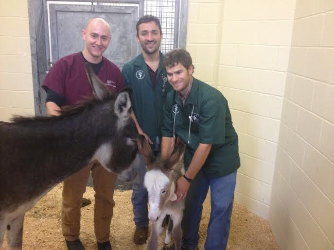 Texas A & M Veterinarian  team working to save Hollis.