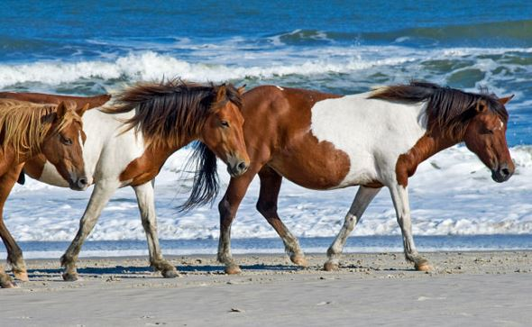 assateague_wild_horses