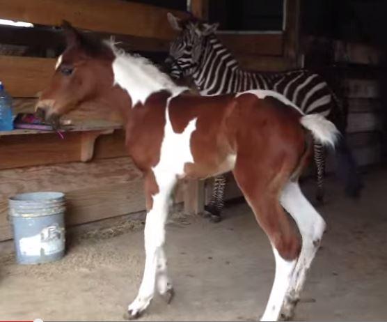 babyhorseszebra