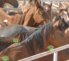 Horses held in export pens before being transported for slaughter. © Kathy Milani/The HSUS