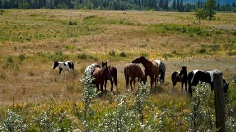 Horses graze on the Eden Valley Reserve, Alta., on Aug. 25, 2011. The Alberta government says it has counted 880 wild horses in the foothills this year, about 100 fewer than 2013.