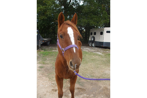 Winter is a beautiful sorrel Quarter Horse available for adoption