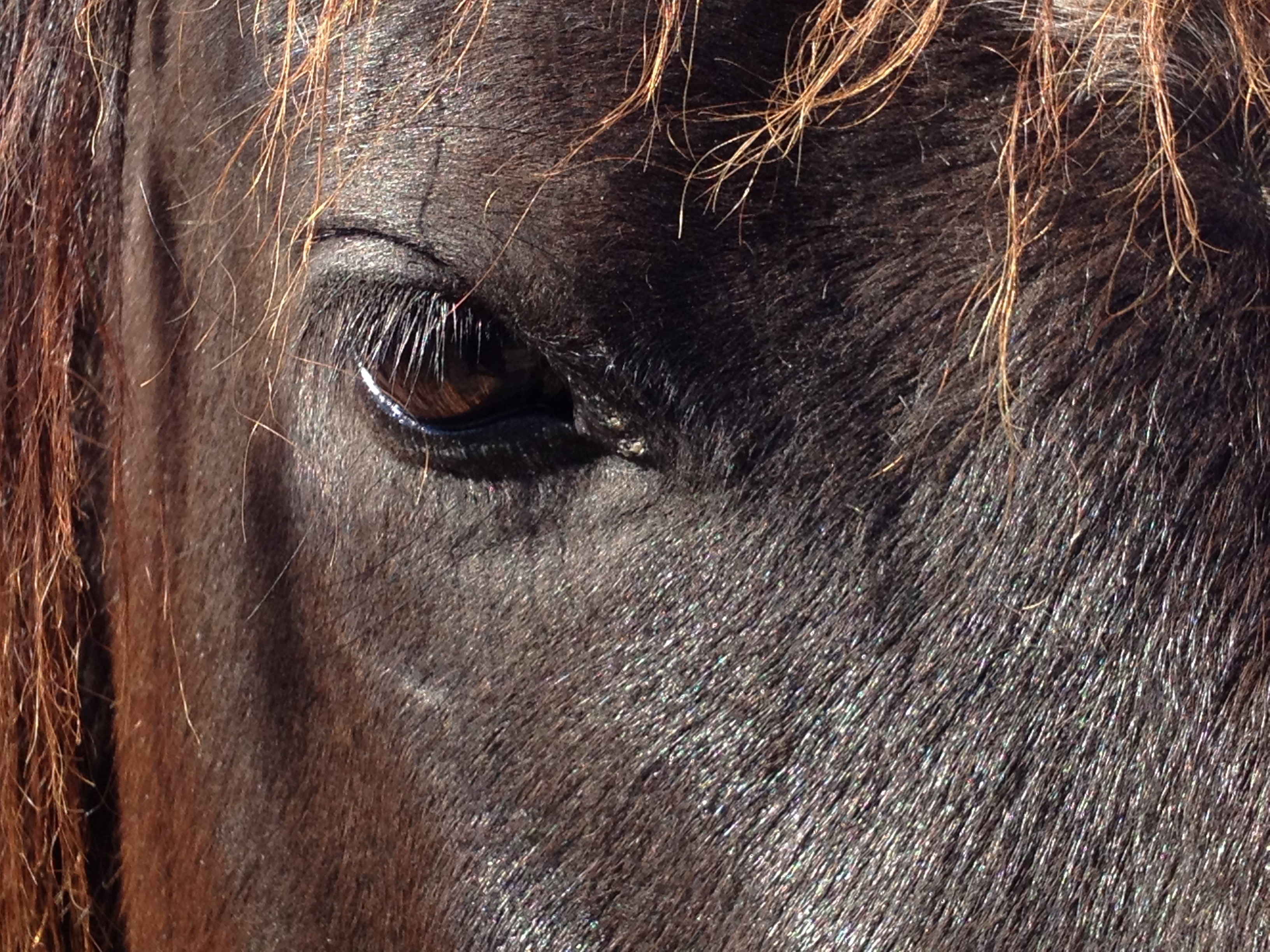 brown_horse_eye
