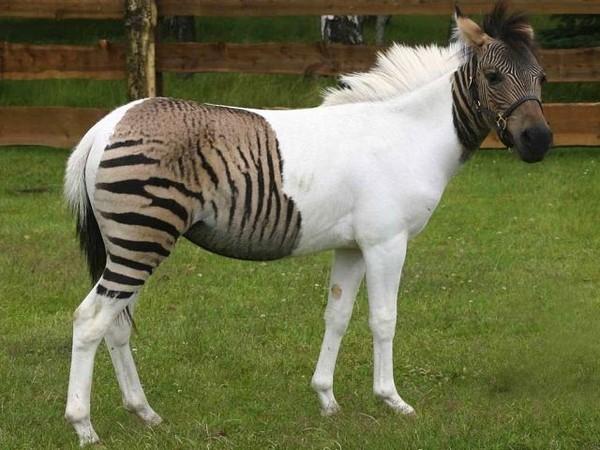 The Rarest Horse Hybrids On The Planet - Habitat For Horses
