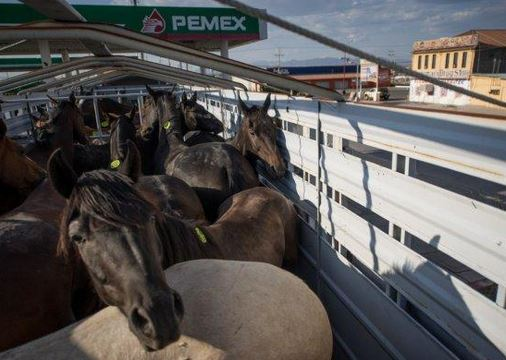 Horses going to a Mexican slaughter house