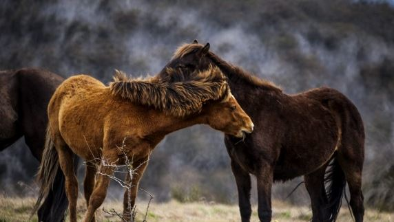 Brumbies wild horses of Snowy Mountains Australia
