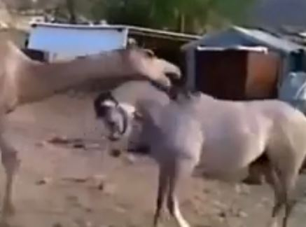 camel and horse