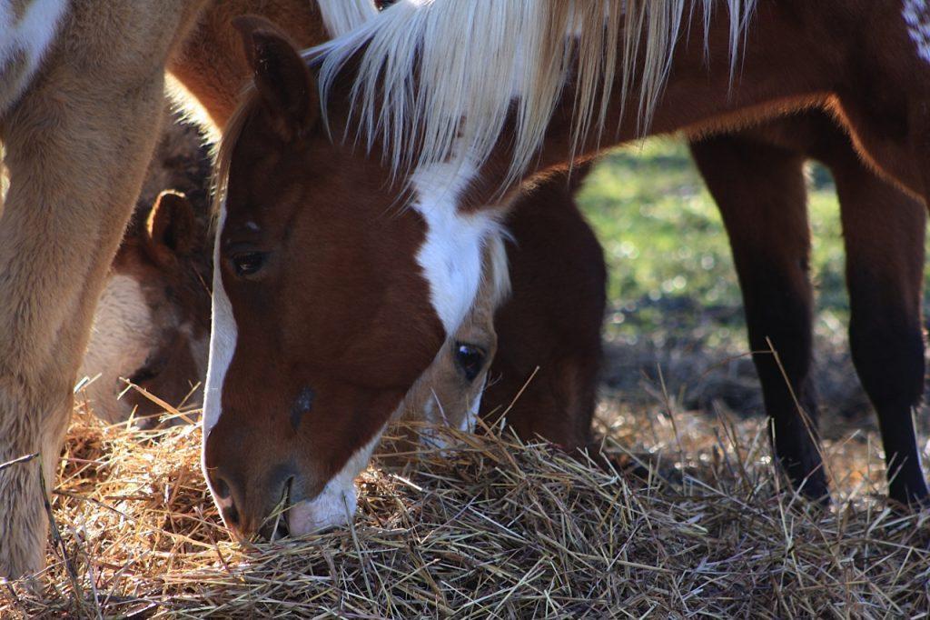 galvestonhorses5