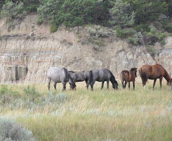 montana_wild_horses