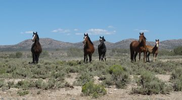 Fish Creek herd management area wild horses Nevada