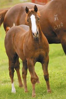 Lynx Melody Too cloned horse