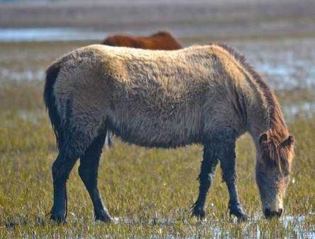 marsh ponies