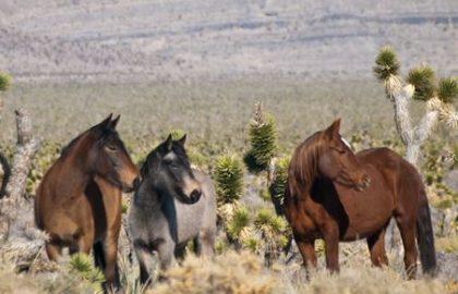 nevada_wild_horses