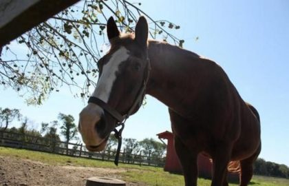 Lord_nelson_horse