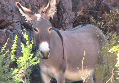 mojave_desert_wild_burro