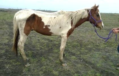 paint gelding (2)